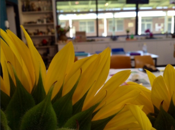 sunflowers in the art room